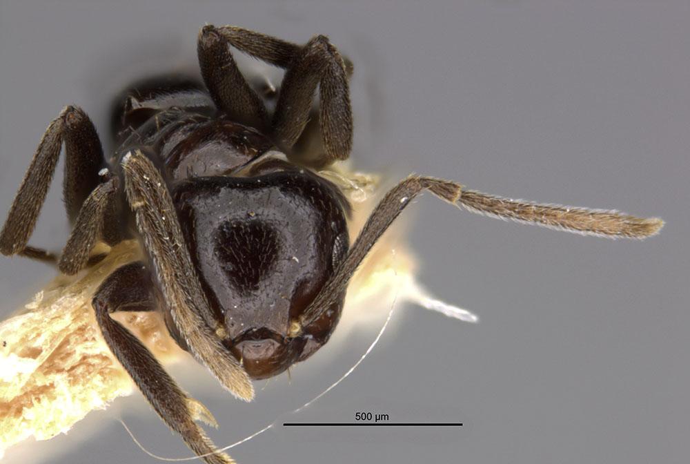 Image of Brachymyrmex gagates