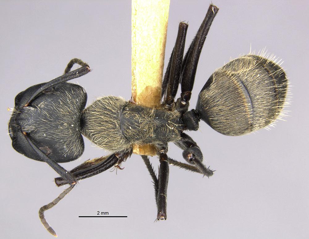 Image of Camponotus formosensis