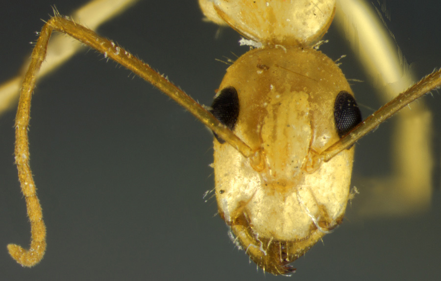 Image of Camponotus fragilis