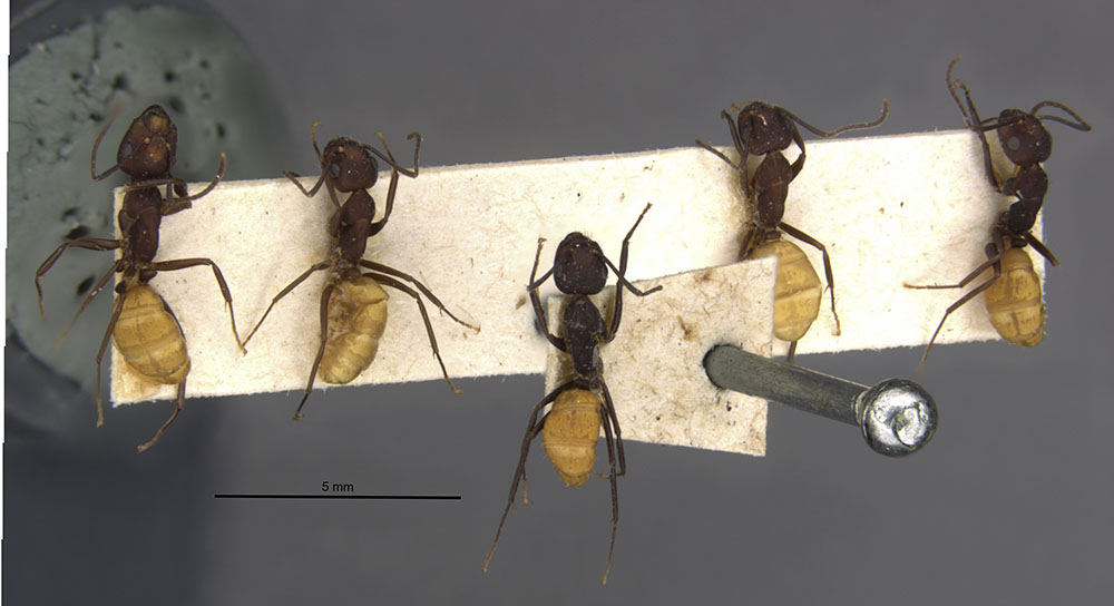 Image of Camponotus goeldii