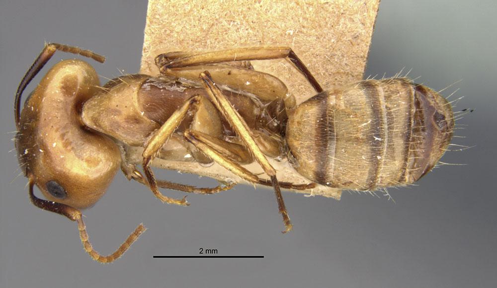 Image of Camponotus abunanus