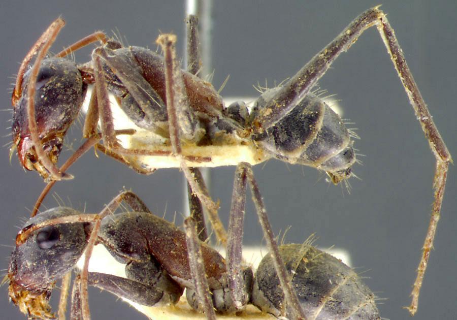 Image of Camponotus denticulatus