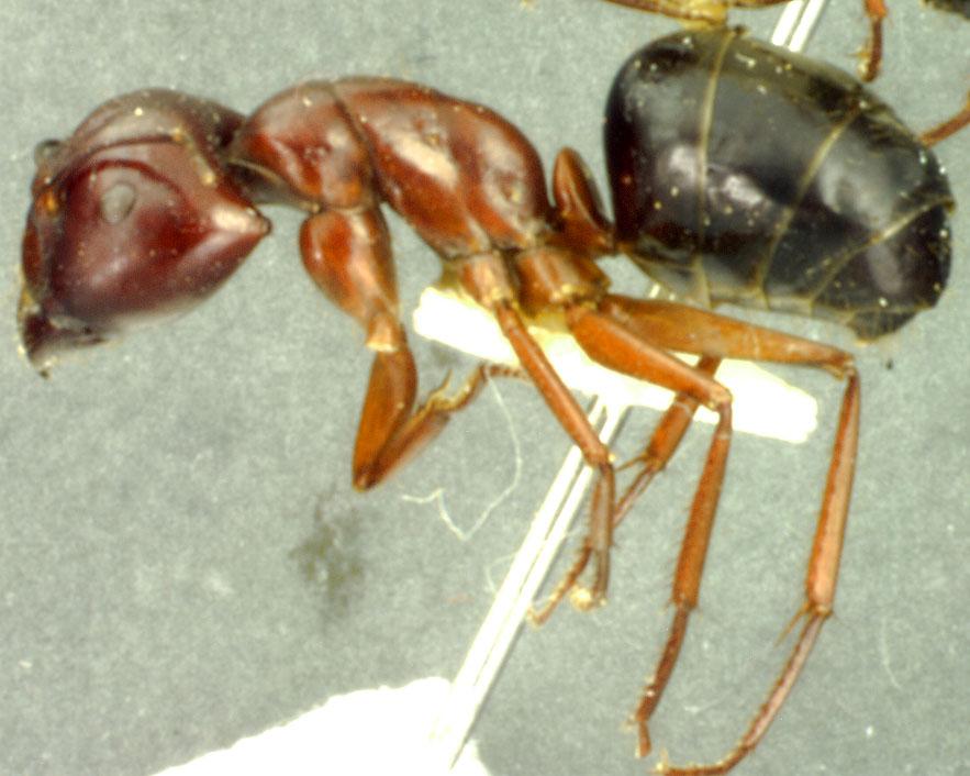 Image of Camponotus postcornutus