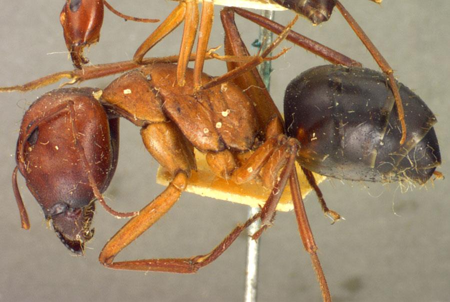 Image of Camponotus rufus