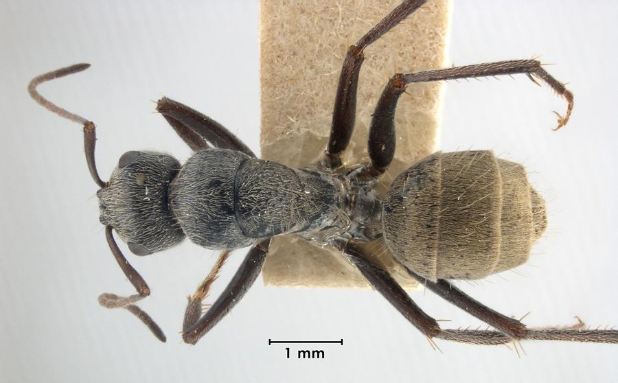 Image of Camponotus bigenus