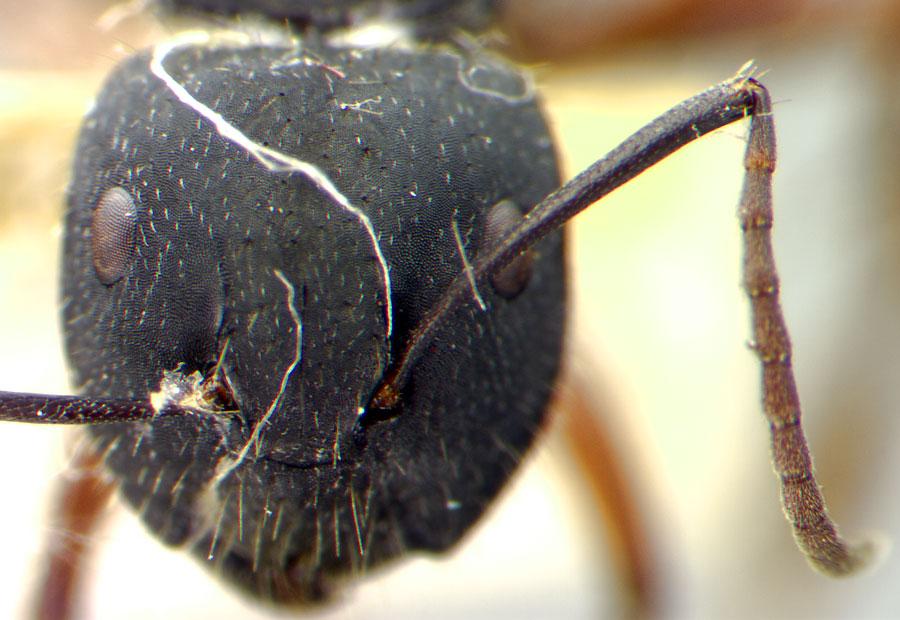 Image of Camponotus chalceus
