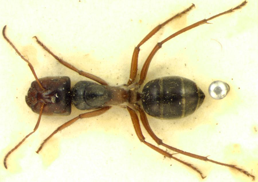 Image of Camponotus dromas