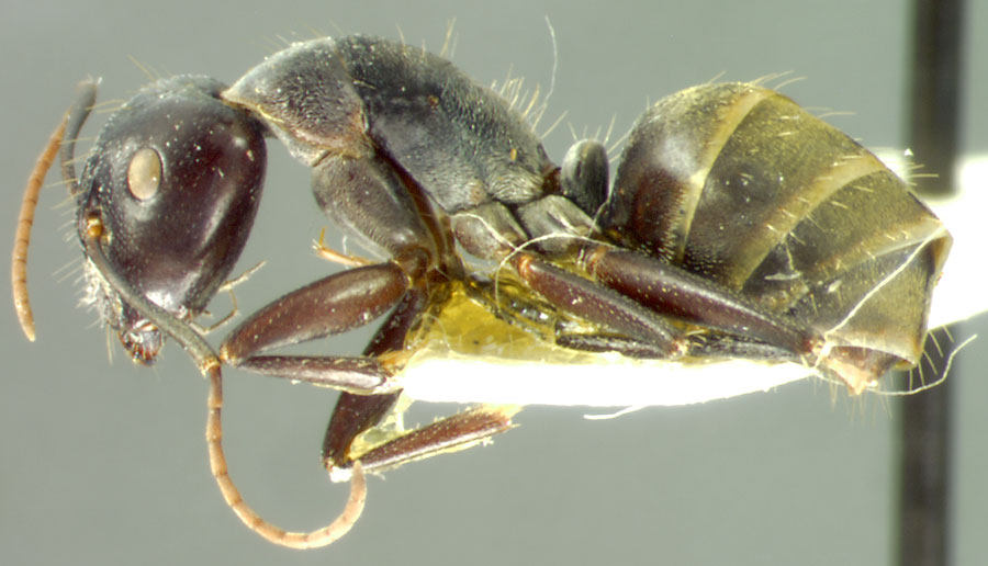 Image of Camponotus fieldellus