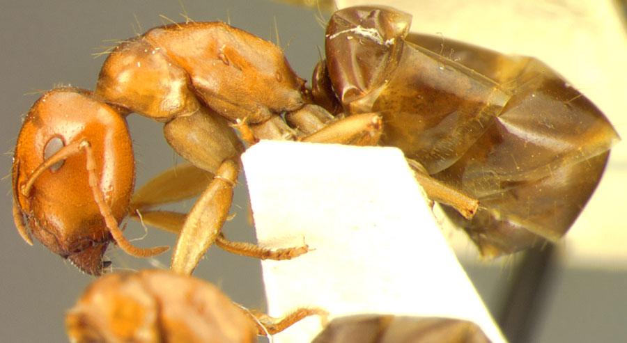 Image of Camponotus sponsorum