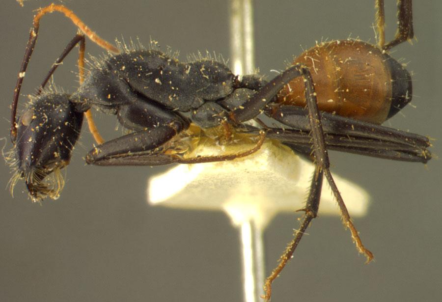 Image of Camponotus versicolor