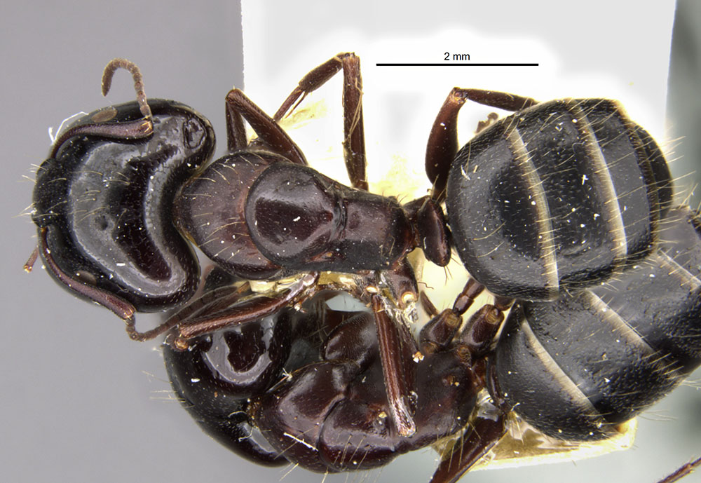 Image of Camponotus anthrax