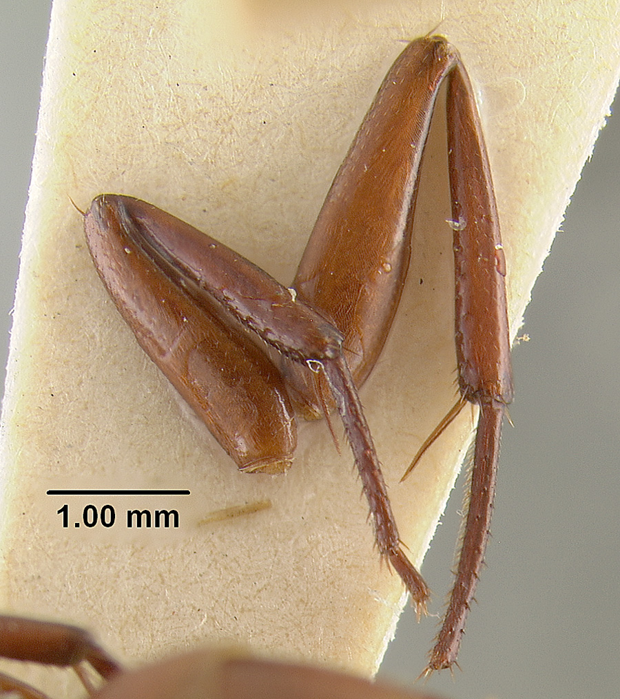 Image of Camponotus schaefferi