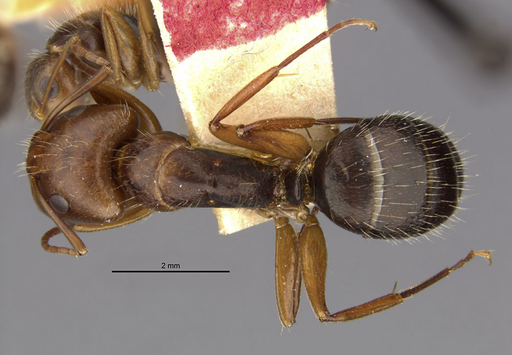 Image of Camponotus cocosensis