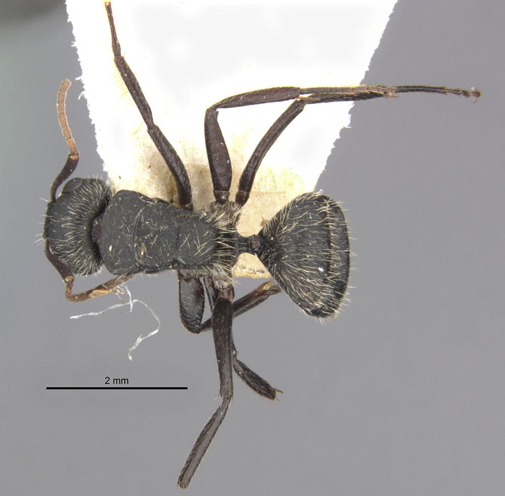 Image of Camponotus crassus