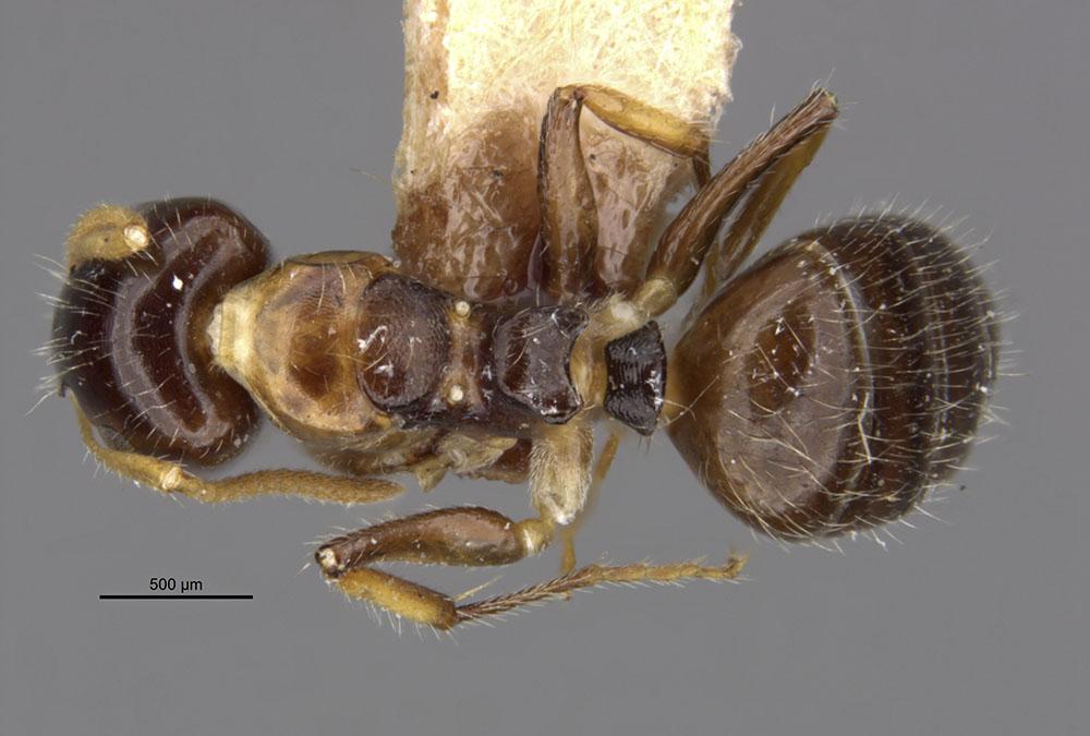Image of Camponotus corniculatus