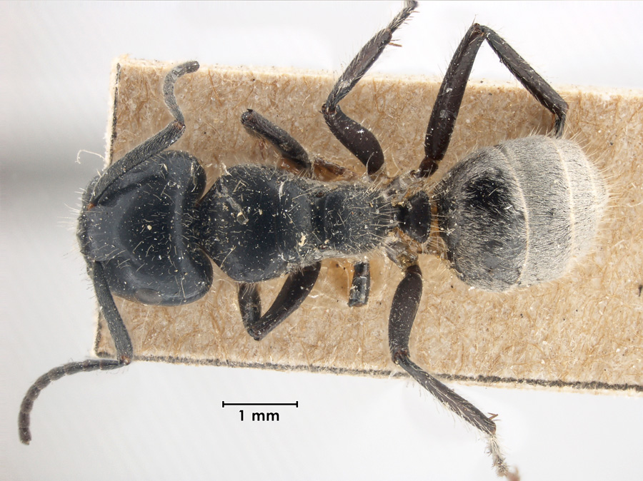 Image of Calomyrmex albertisi