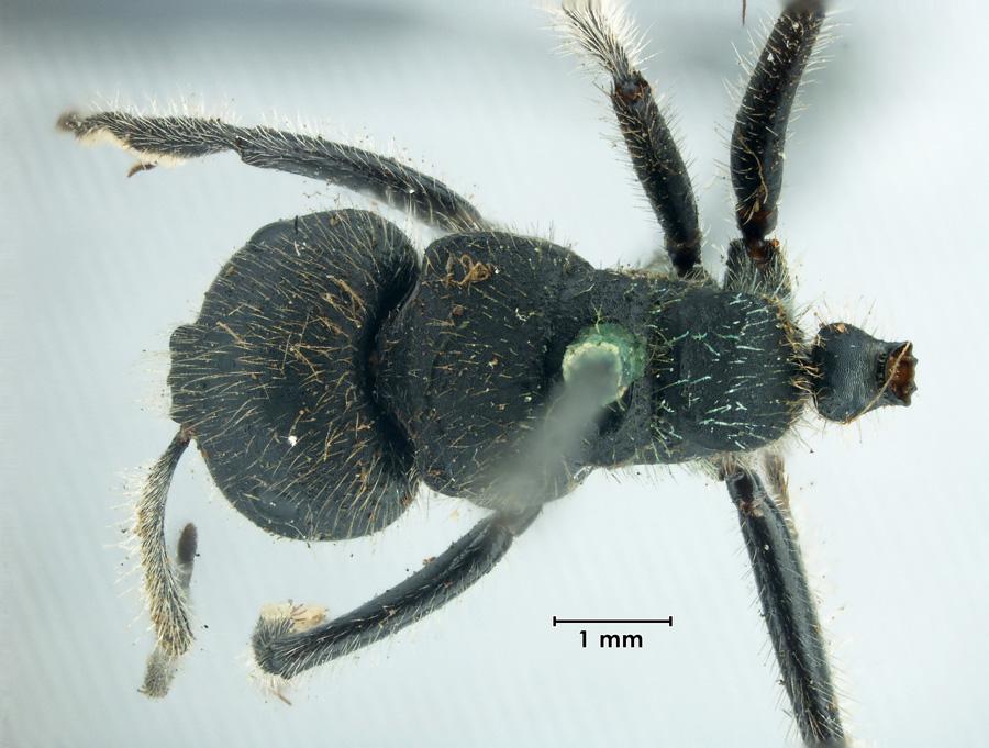 Image of Calomyrmex glauerti