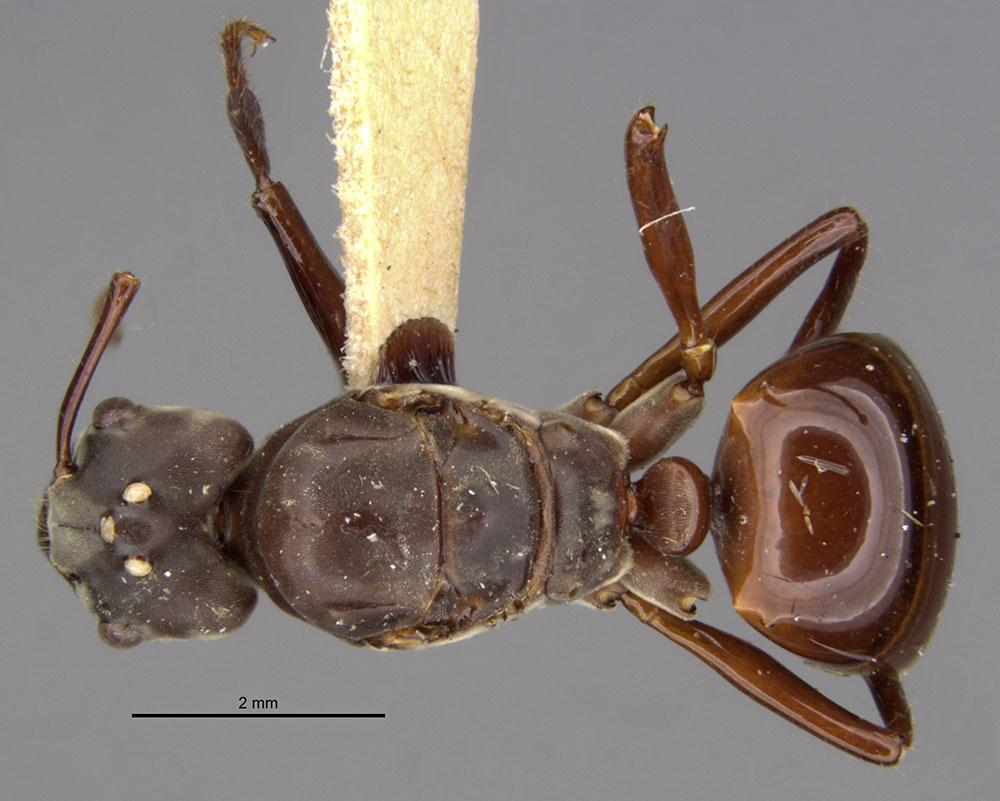 Image of Bregmatomyrma carnosa