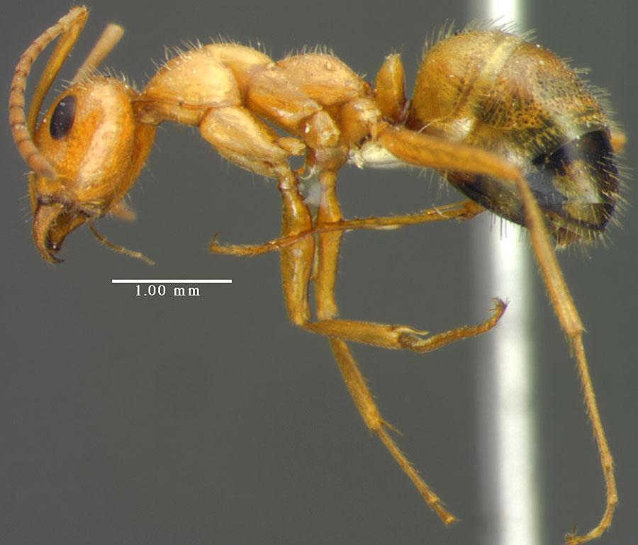 Image of Formica bradleyi