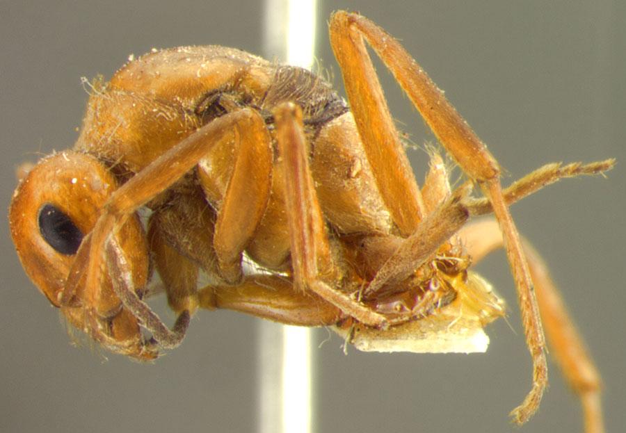 Image of Formica ciliata