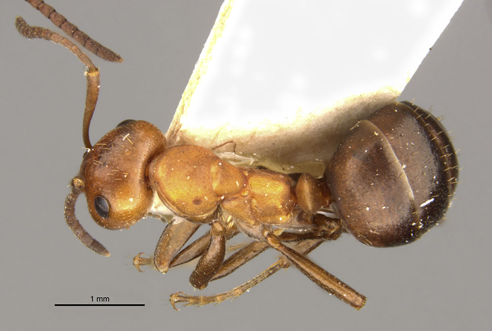 Image of Formica dakotensis