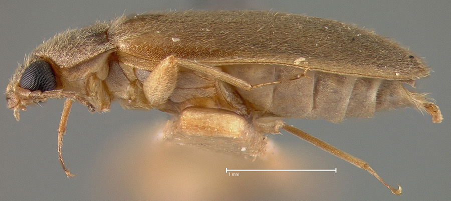 Media of type image, MCZ:Ent:21786 Identified as Heterops haitiana type status Holotype of Pheneps cubanus. . Aspect: habitus lateral view