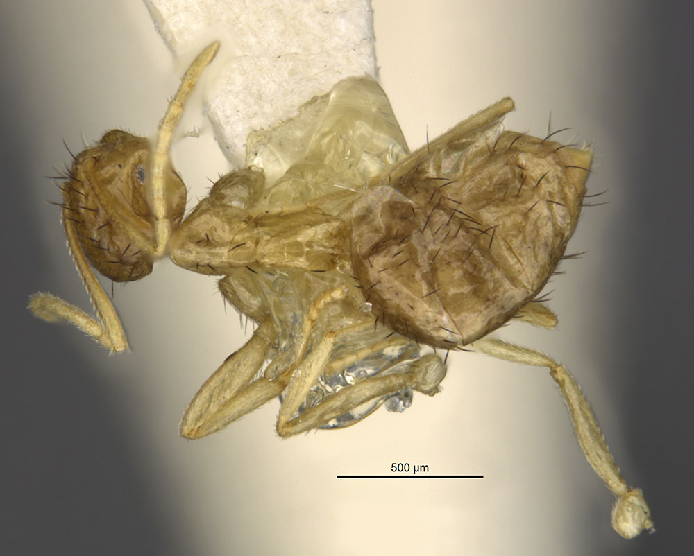 Image of Brachymyrmex cavernicola