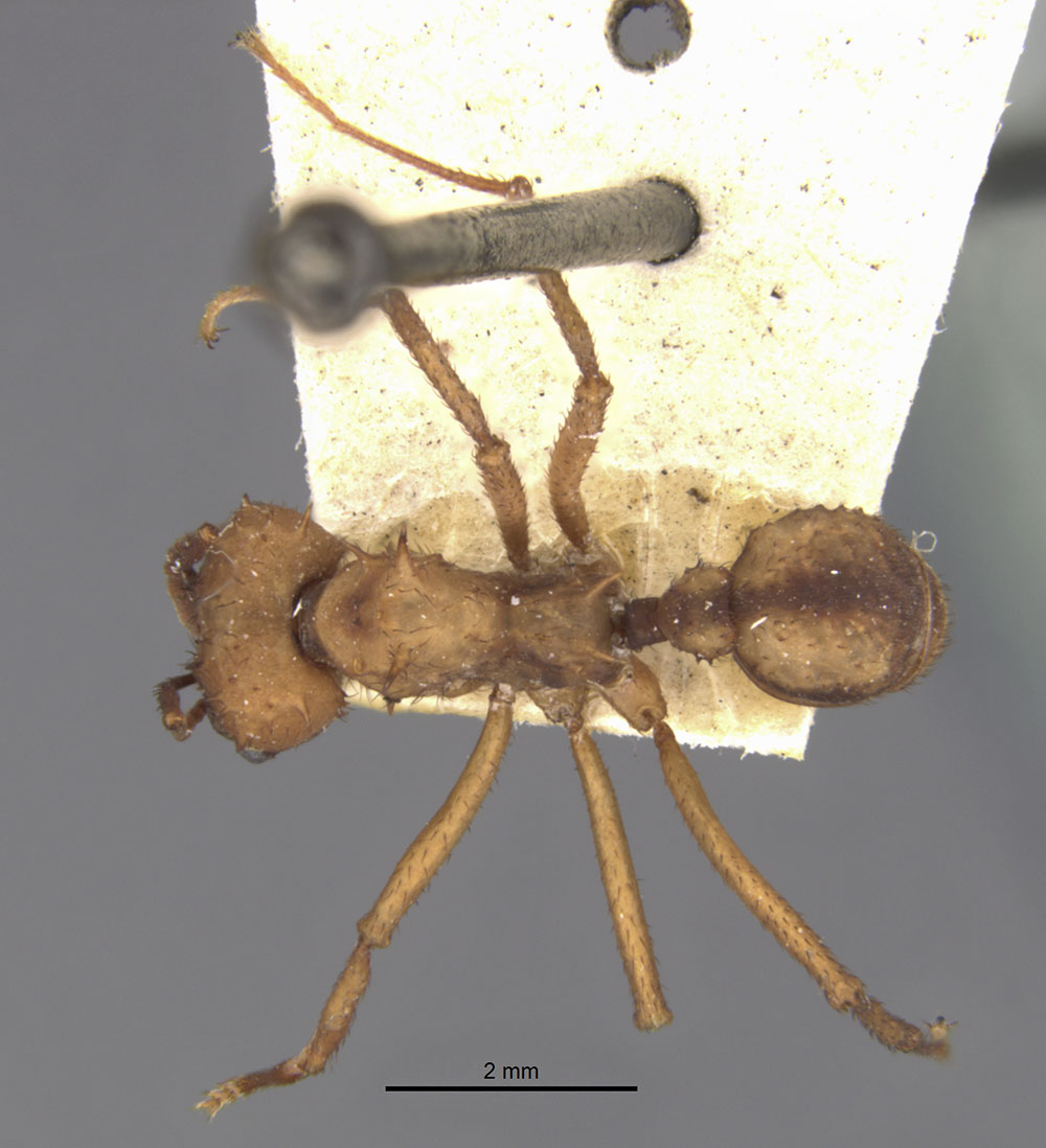 Image of Acromyrmex aspersus