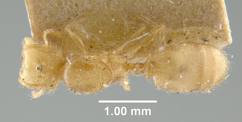 Image of Pheidole colobopsis