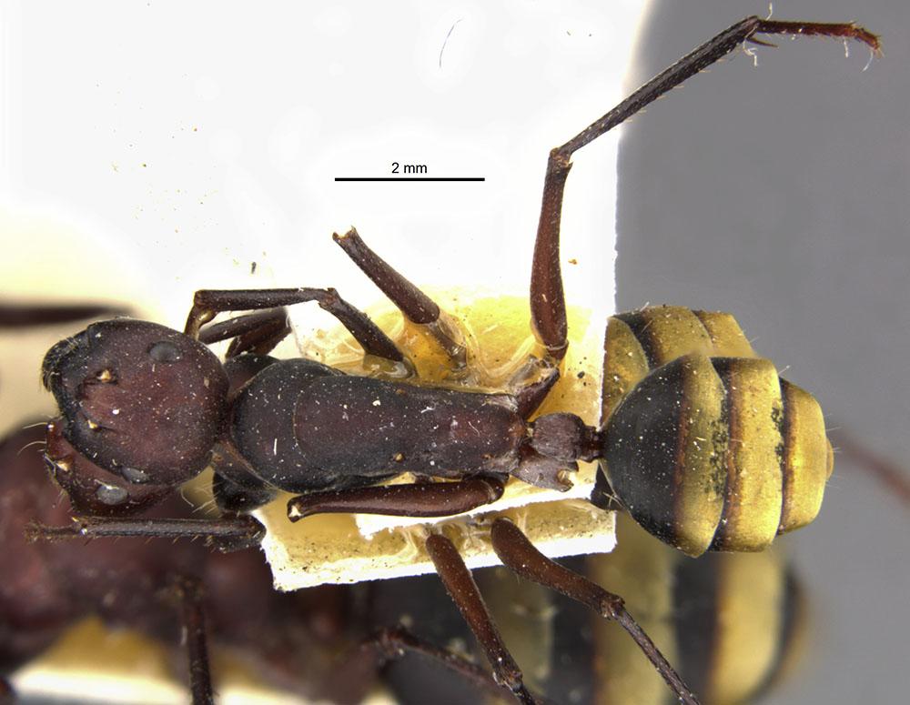 Image of Camponotus midas