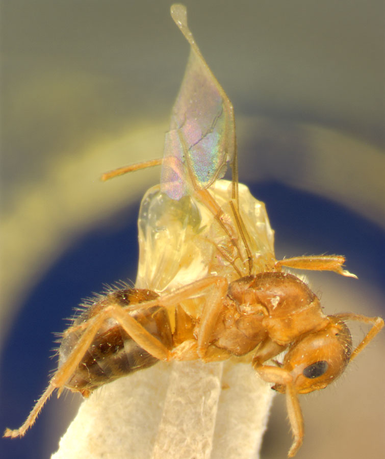 Image of Formica nevadensis