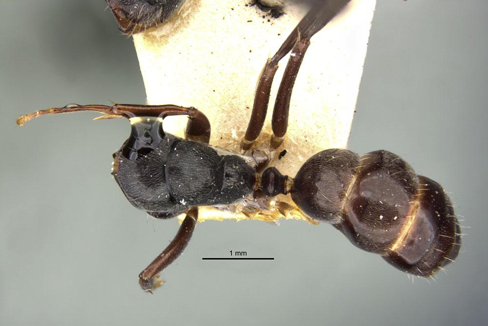 Image of Camponotus confucii