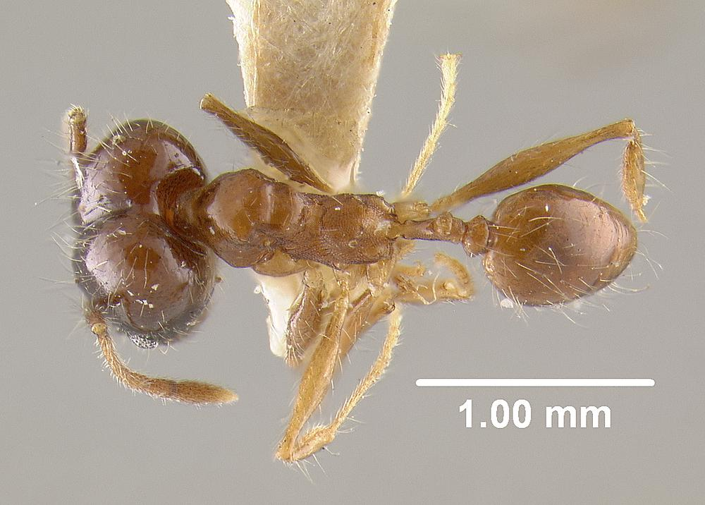 Image of Pheidole cataractae