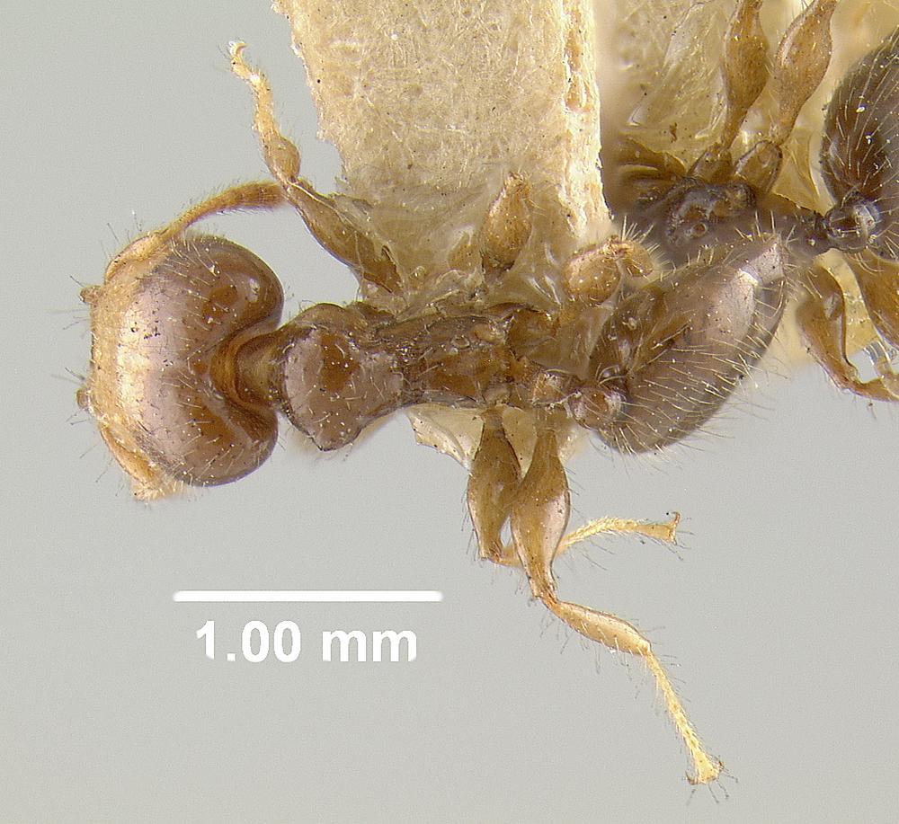 Image of Pheidole cramptoni