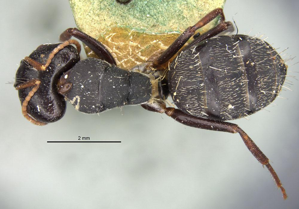 Image of Camponotus grandidieri