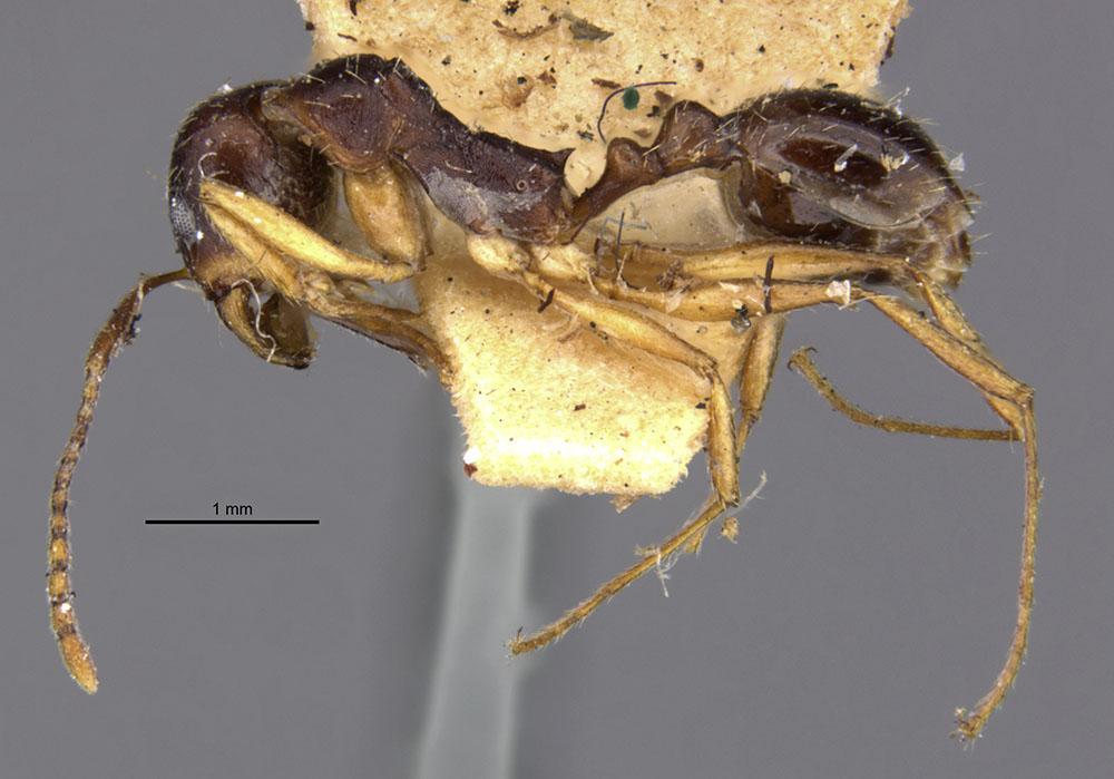 Image of Aphaenogaster beesoni