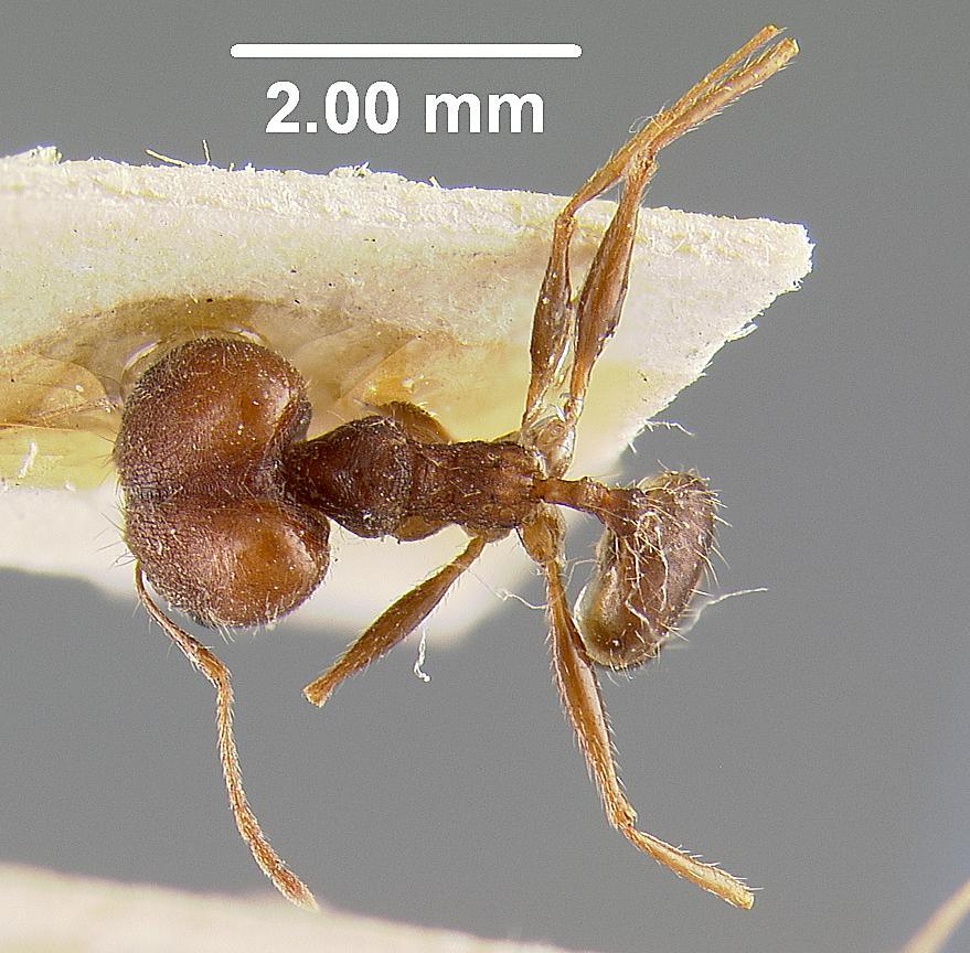 Image of Pheidole andrieui