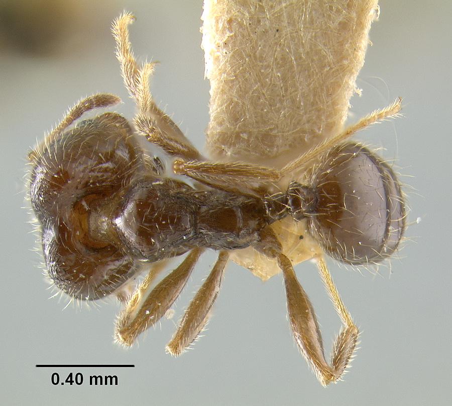 Image of Pheidole tragica