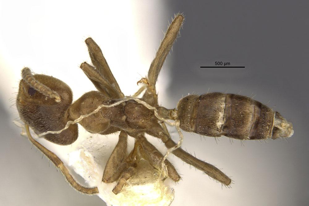 Image of Azteca bequaerti