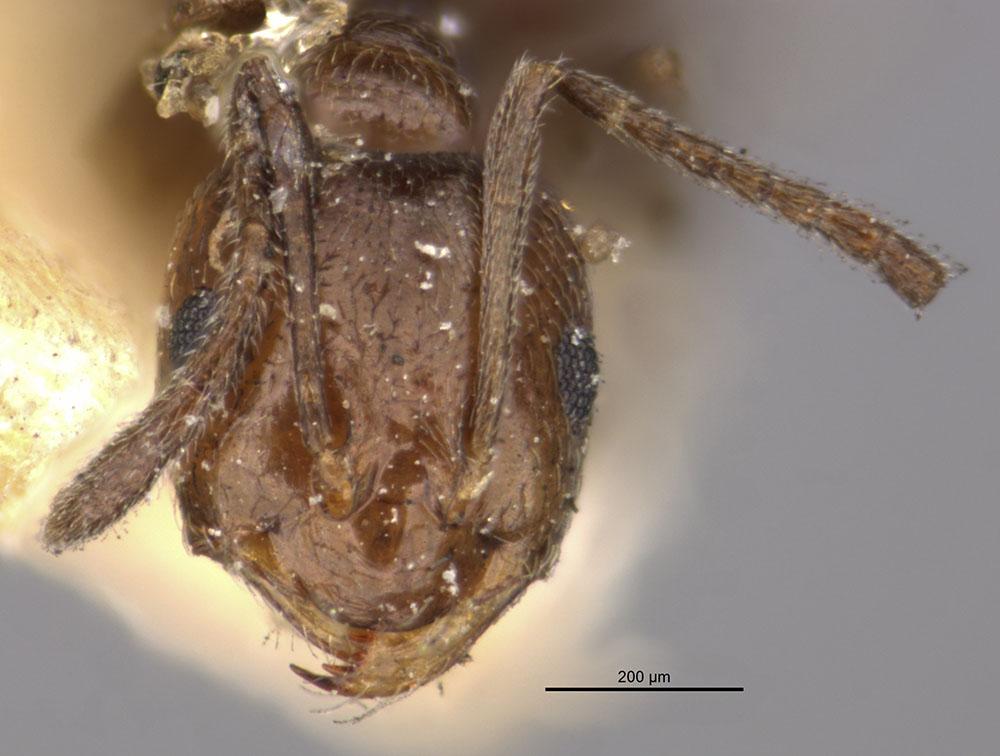 Image of Brachymyrmex giardi