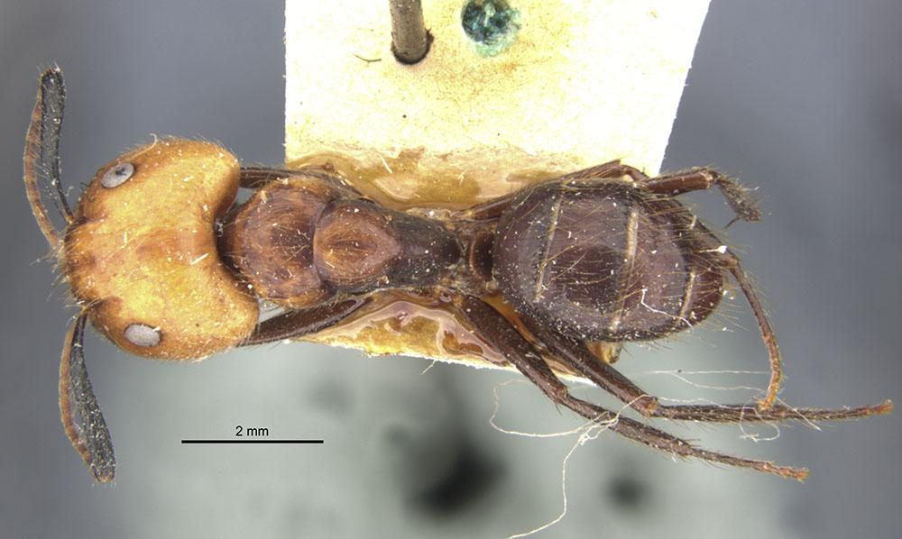 Image of Camponotus bugnioni