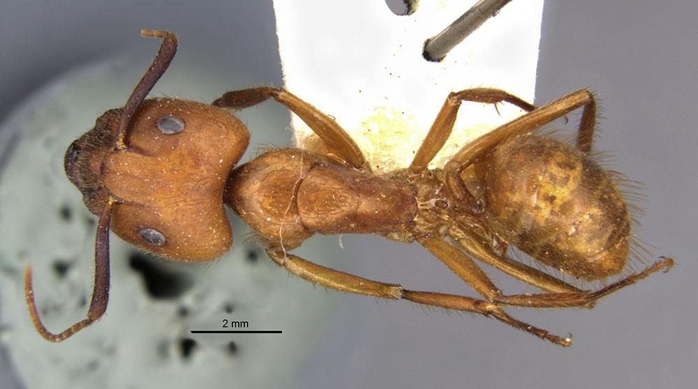 Image of Camponotus hannani