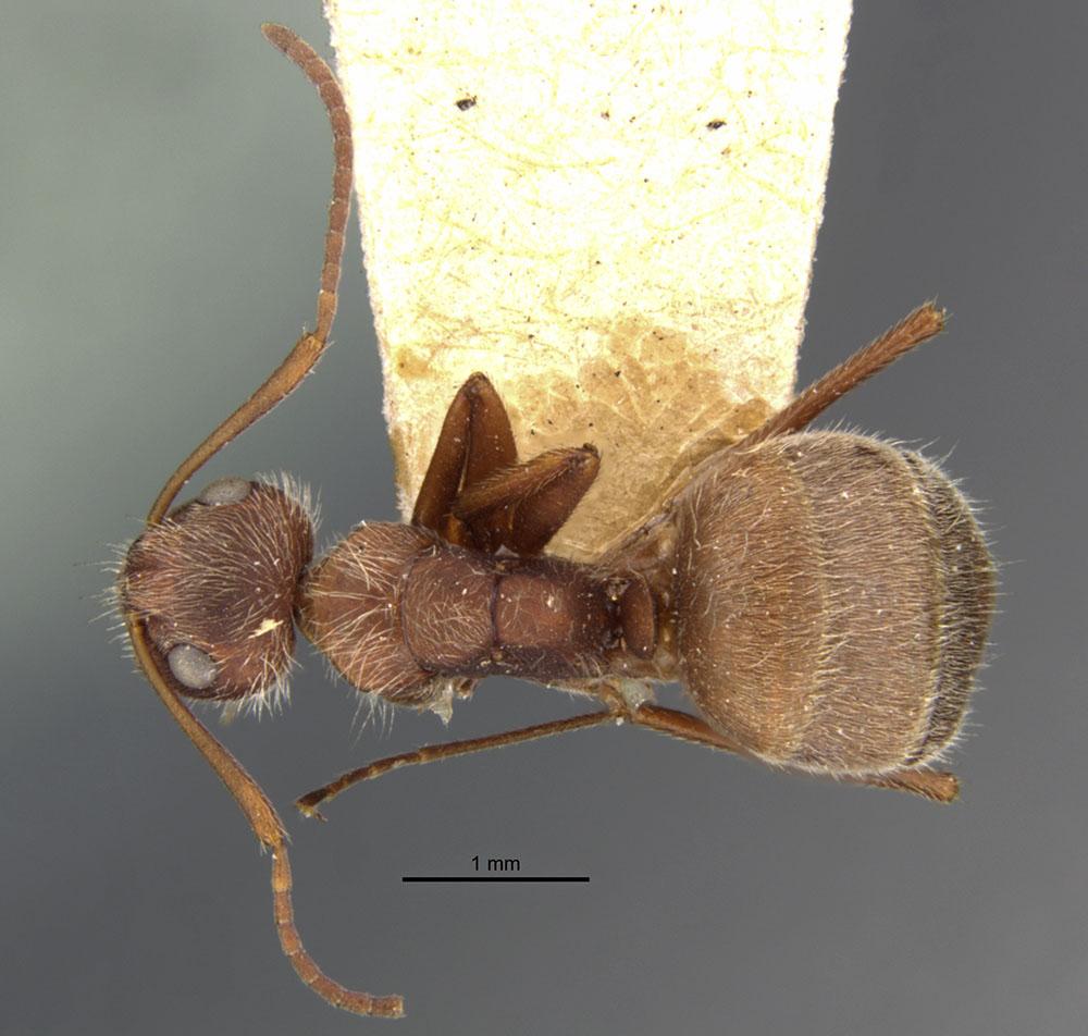 Image of Camponotus formiciformis