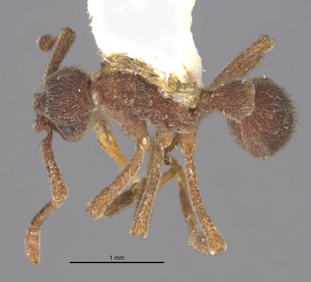 Image of Apterostigma ierense