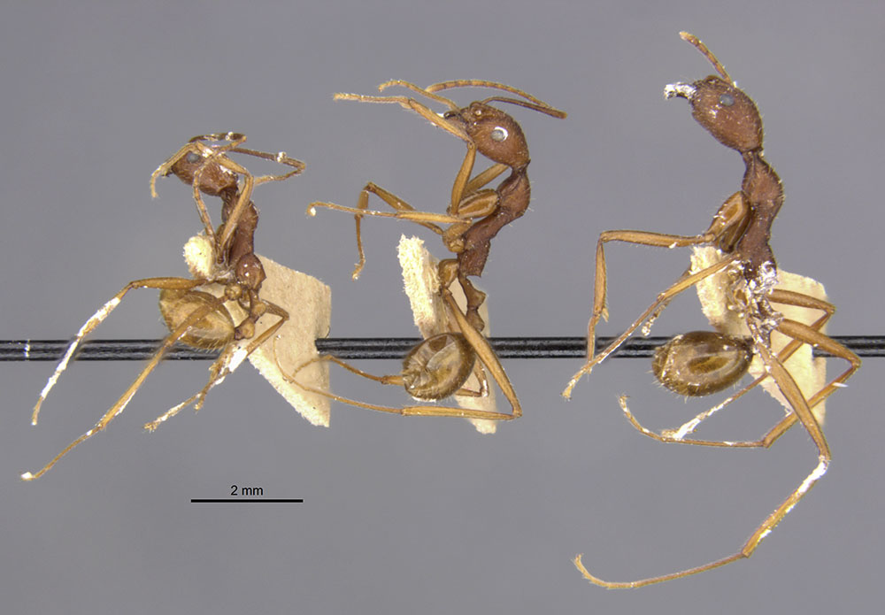 Image of Aphaenogaster takahashii