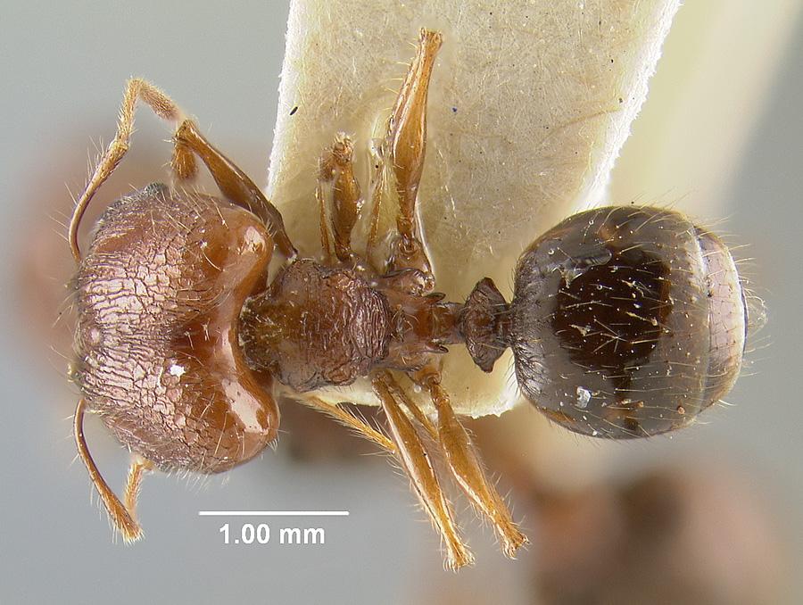 Image of Pheidole roosevelti