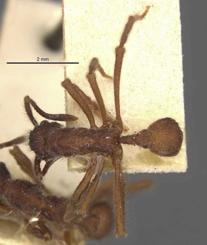 Image of Apterostigma auriculatum