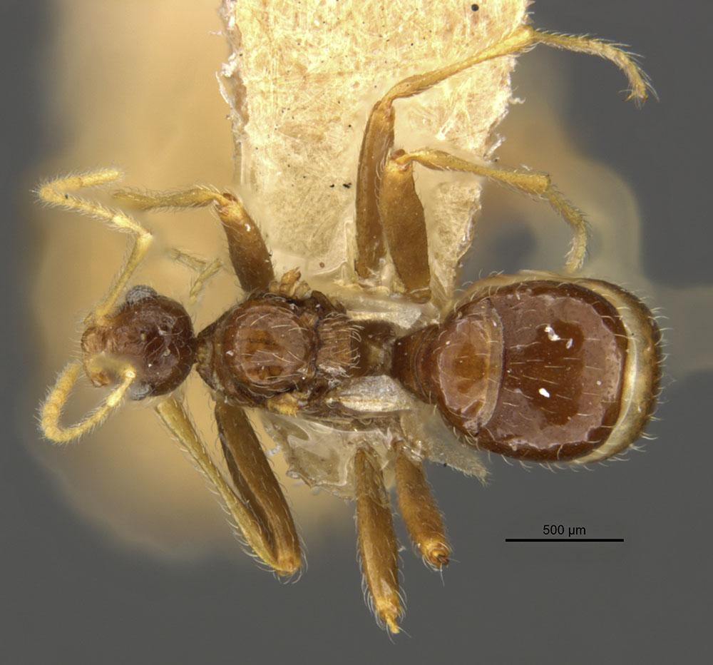 Image of Pheidole neokohli