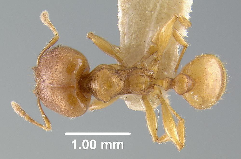 Image of Pheidole carapuna