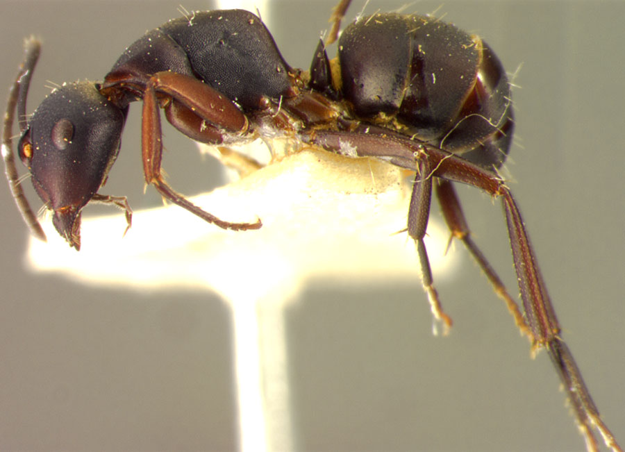 Image of Camponotus tristis